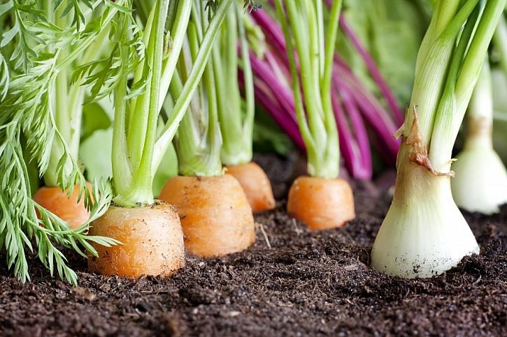 Kvalitní odrůdy zeleniny
