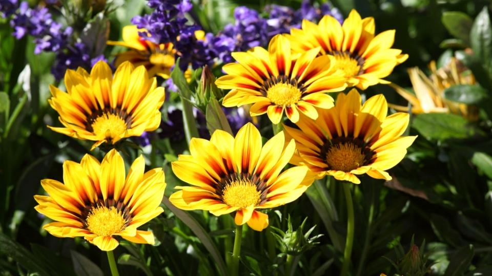 Sezona letniček začíná! Pusťte se do pěstování aster, gazánií či hledíků
