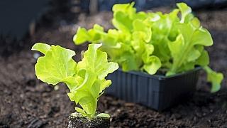 Jak pěstovat hlávkový salát: S výsevem můžeme začít hned!