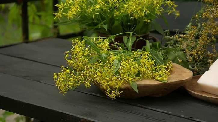 Rostlinka, která hojí rány a ulevuje kloubům aneb starček Fuchsův