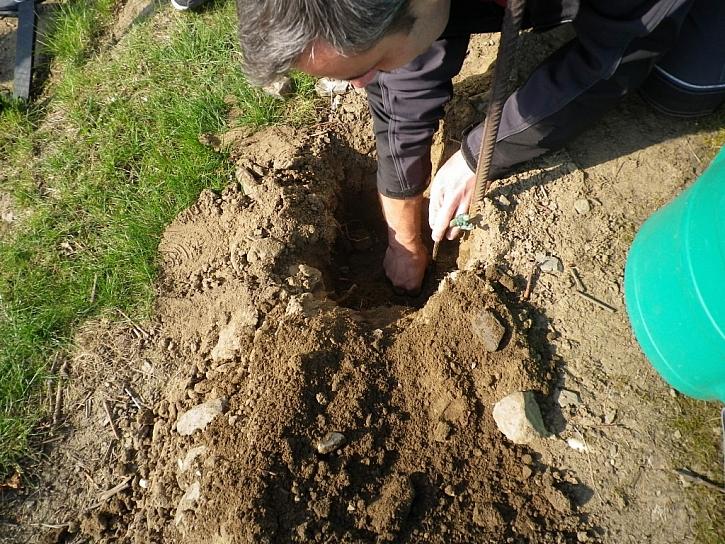 3. Umístíme sazenici tak, aby kořeny směřovaly vertikálně, ne do stran