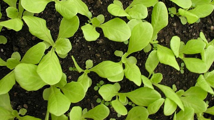 Výsev semínek hlávkového salátu na záhon