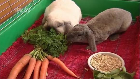 Jak chovat zakrslého králíka