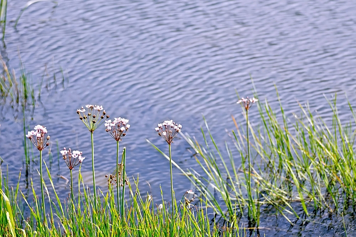 Šmel je vodní vytrvalá rostlina