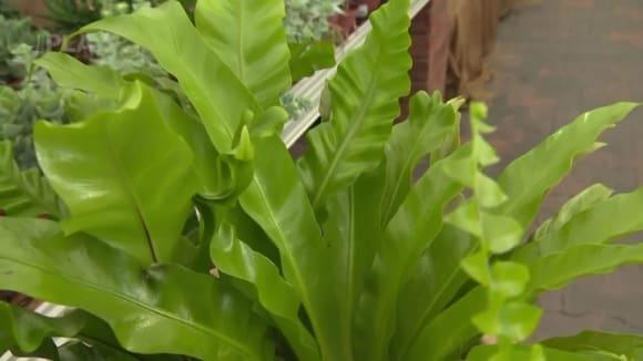 Pěstování kapradin v interiéru
