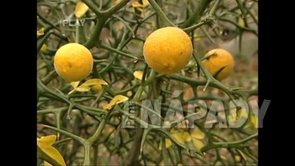 Pěstování citronečníku trojlistého