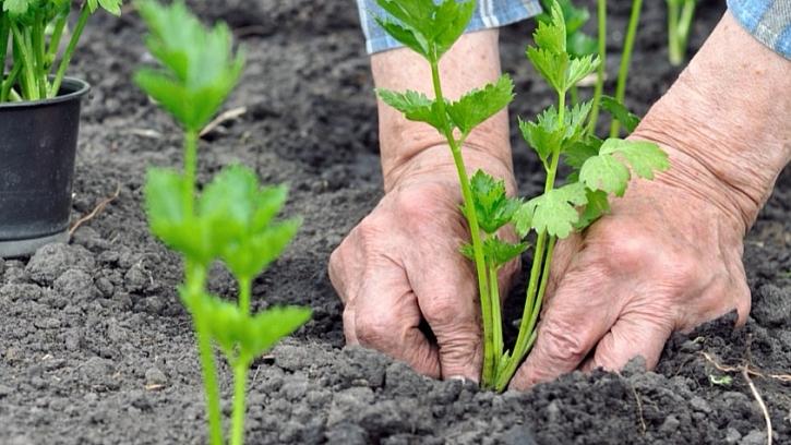 Chcete mít kvalitní celer? Vypěstujte si vlastní sadbu: sadbu vysazujte až po 15. květnu