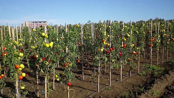 Jak na efektivní výsadbu rajčat