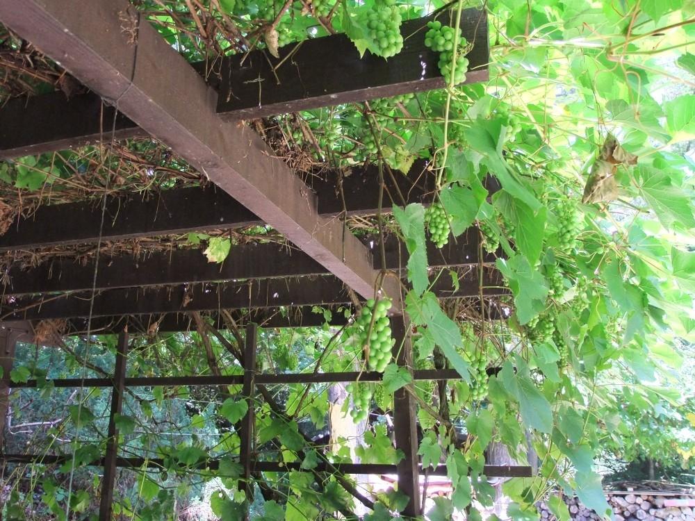 Popínavé rostliny pro pergoly