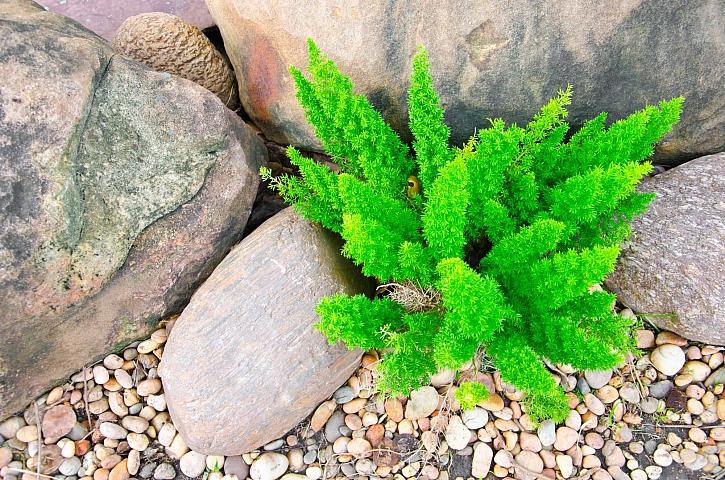 Malý asparágus