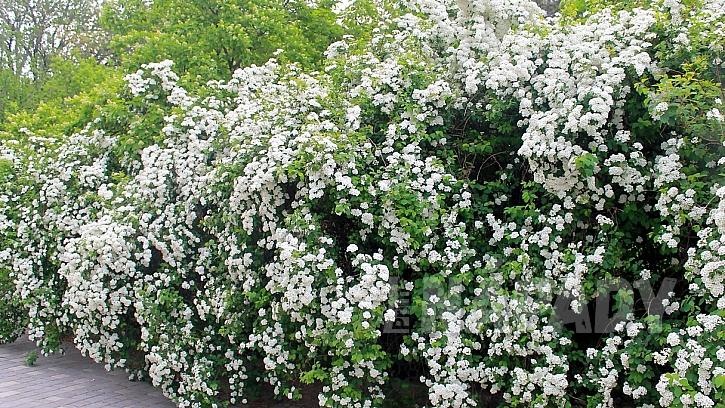 Rostliny vhodné do živého plotu: tavolník (Spiraea)