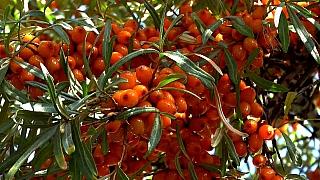 Jeho Veličenstvo rakytník řešetlákový aneb zářivě oranžový vitaminový král