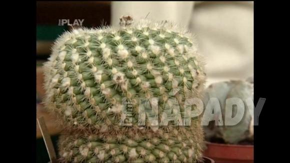 Jak uzdravit napadený kaktus