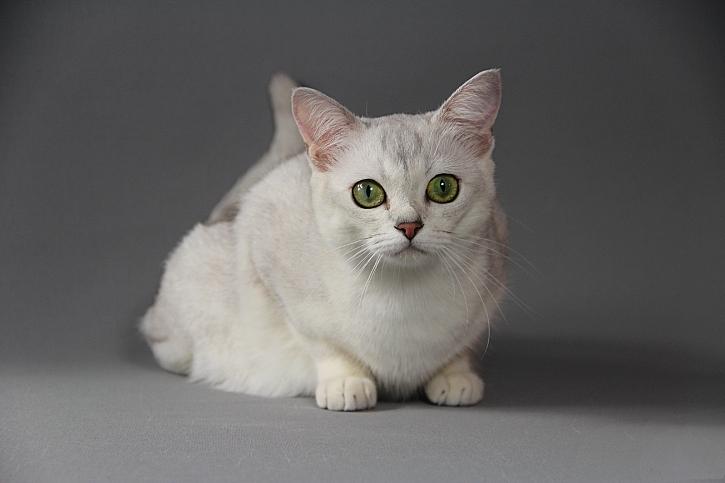přírodní krémová kočička