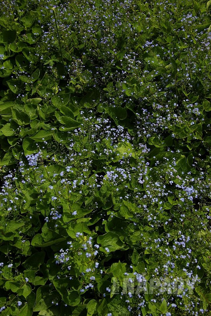 6 pomněnkovec nejen krásně kvete ale dokonale pokrývá půdu