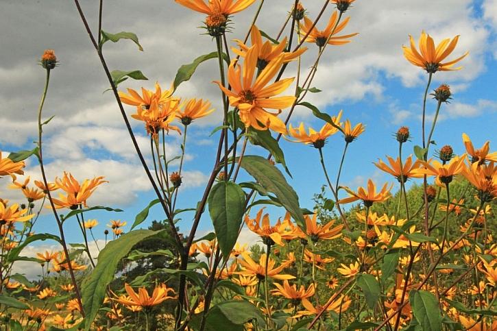 Topinambury patří do rodu slunečnic