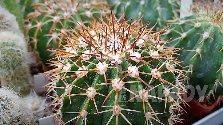 Pokojové rostliny rodině na míru: kaktus ocení tatínek ; Melocactus hernandezii