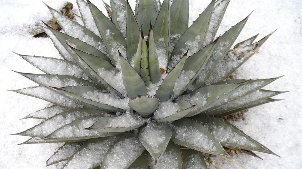 Mrazuvzdorné agáve aneb Jak si na zahradě ivzimě užít exotiku