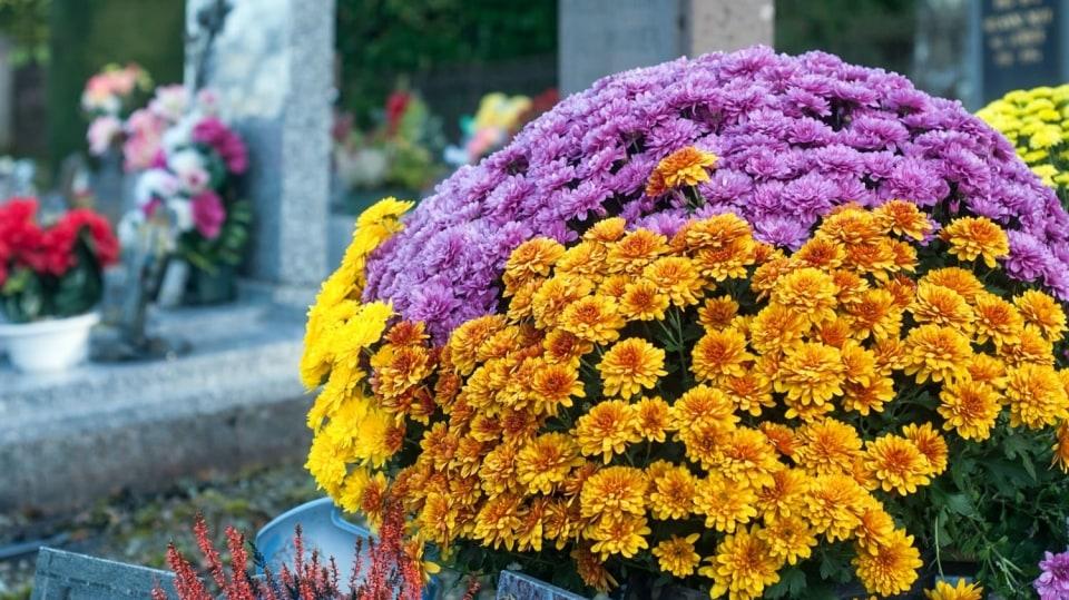 Víte, proč jsou právě chryzantémy dušičkové květiny?