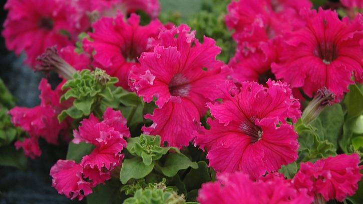 Předpěstujte si petúnie: FRILLYTUNIA ROSE floranova Fimberiata