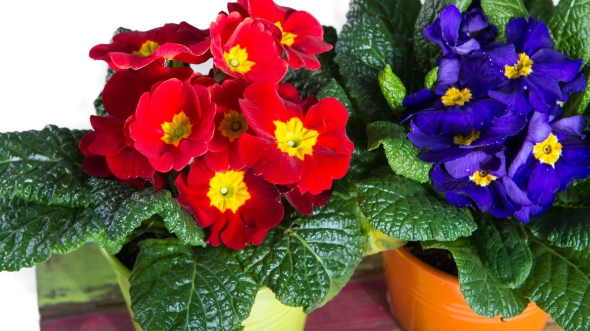 Co víte o pěstování petrklíčů? Prvosenka jarní vbytě ina zahradě