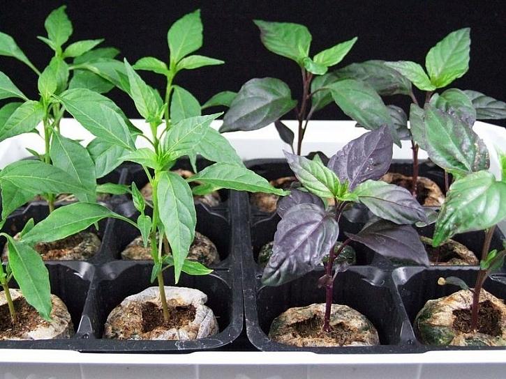 Předpěstování zeleniny v sadbovačích