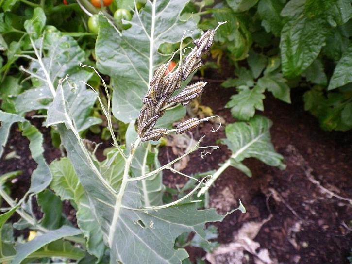 Housenky běláska zelného dokáží sežrat celé listy