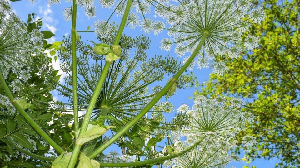 Bolševník a ti druzí: Rostliny, které zvyšují naši citlivost na sluneční záření