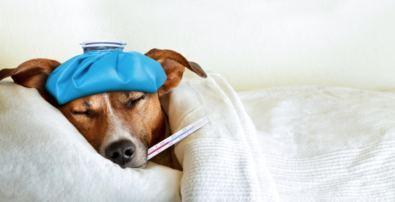 Nemoci se nevyhýbají ani psům: Poznáte příznaky obvyklých psích neduhů?