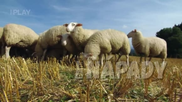 Biosekačka - ovce