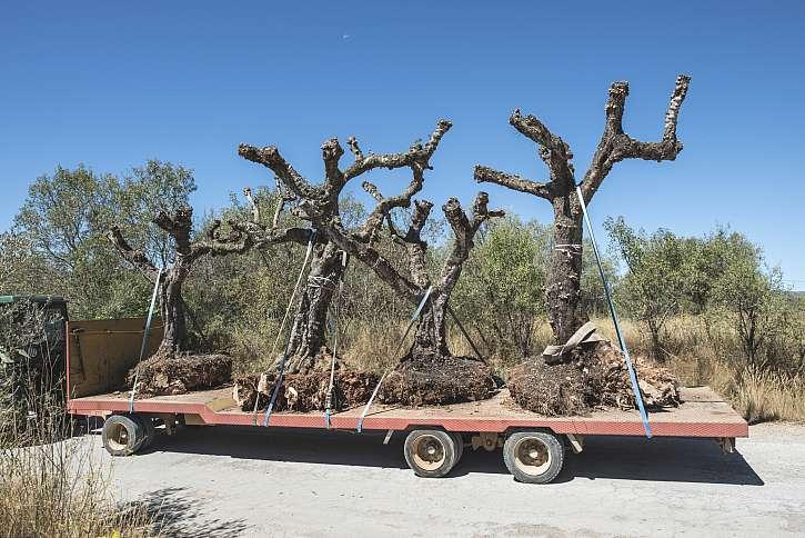 Velké stromy - převoz na stanoviště
