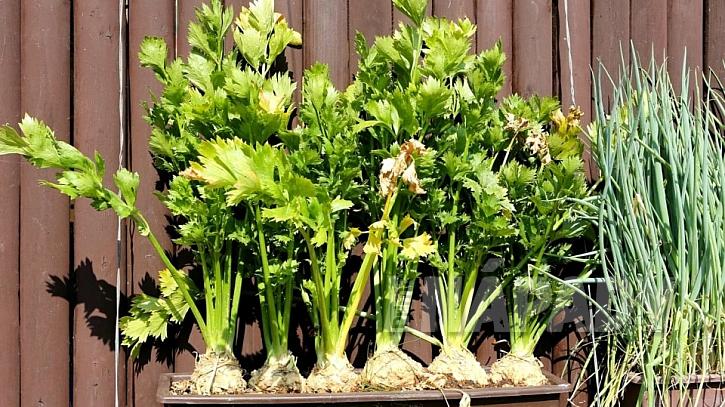 Pěstování zeleniny v truhlíku: dobře se v truhlících daří celerům, ale také jarní cibulce