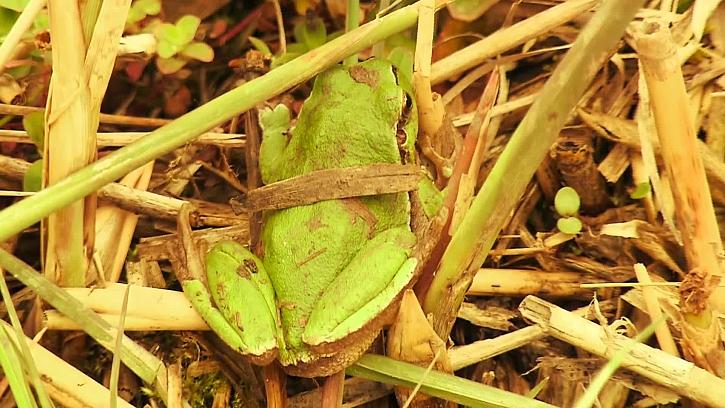 Volné žijící žába