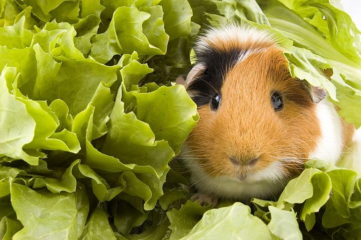Chovat morče není tak velký problém, morče je vcelku nenáročný domácí mazlíček (Zdroj: Depositphotos)