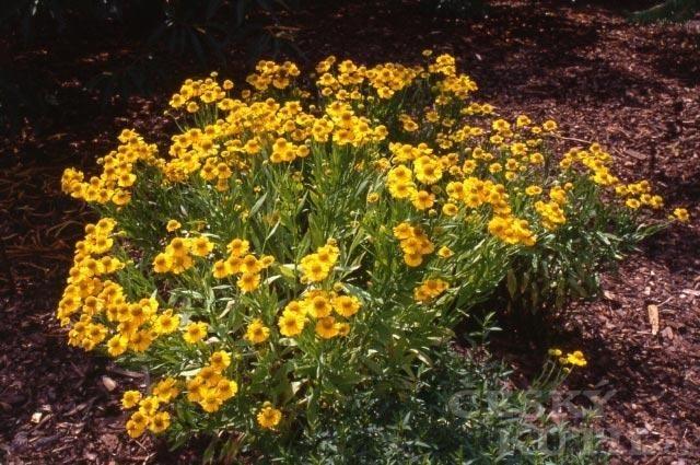 Záplevák zahradní