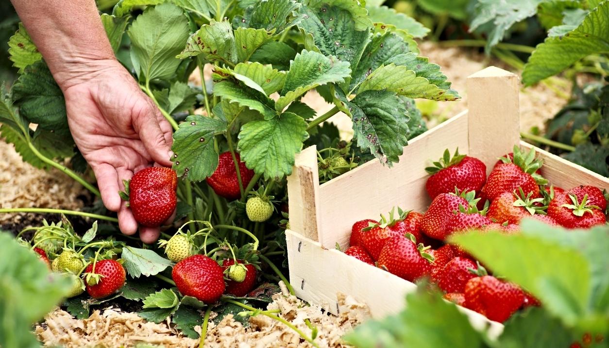 Báječné jahody, čisté jako ze škatulky