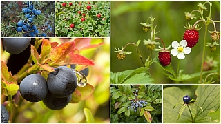 Jahody a borůvky: Oblíbené lesní plody mají své nebezpečné dvojníky