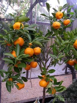 Citrusy z čeledi routovitých (<em>Rutaceae</em>)