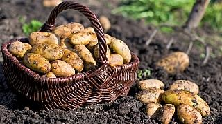 Vypěstujte si letos vlastní brambory – azačněte hned!