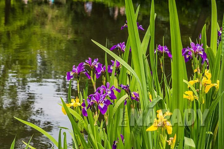 Iris se často pěstuje jako vodní či bahenní rostlina
