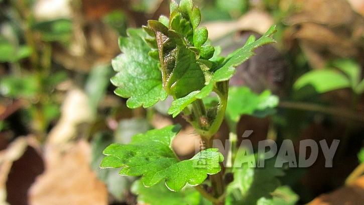 Popenec obecný (Glechoma hederacea) nesmí chybět ve velikonoční nádivce