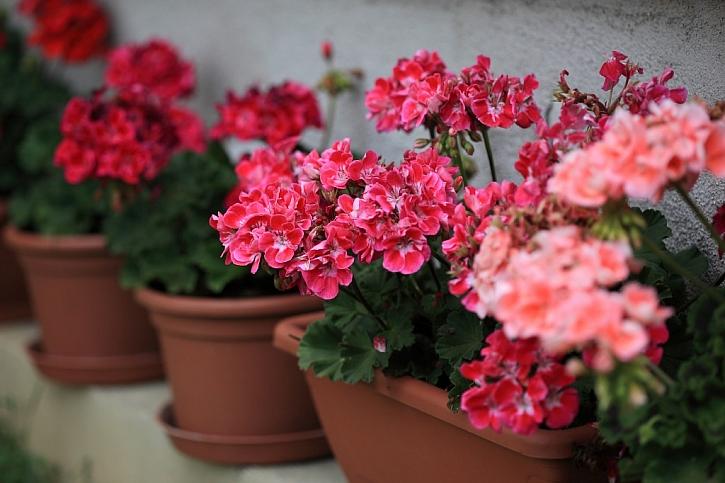 Příprava na množení pelargonií zahrnuje i včasné odstranění povadlých květenství, tvorba semen rostlinu vysiluje