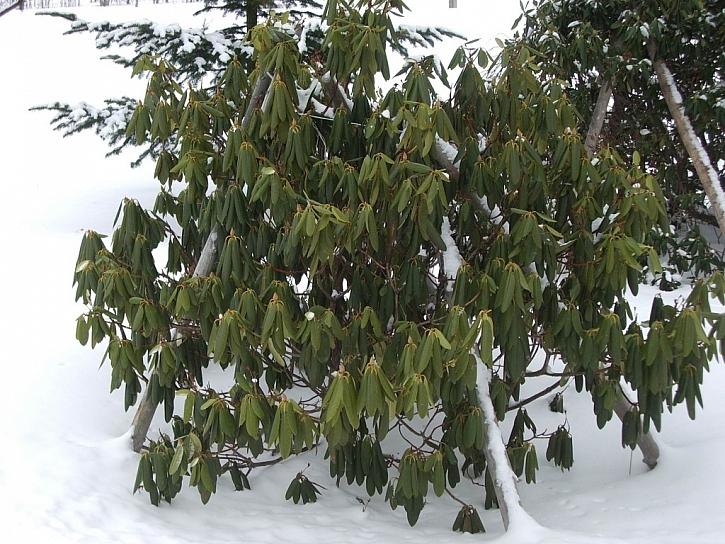 Rododendrony se svěšenými listy signalizují nedostatek vláhy
