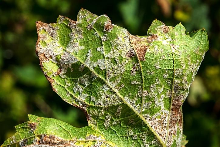 Plíseň napadá i listy révy