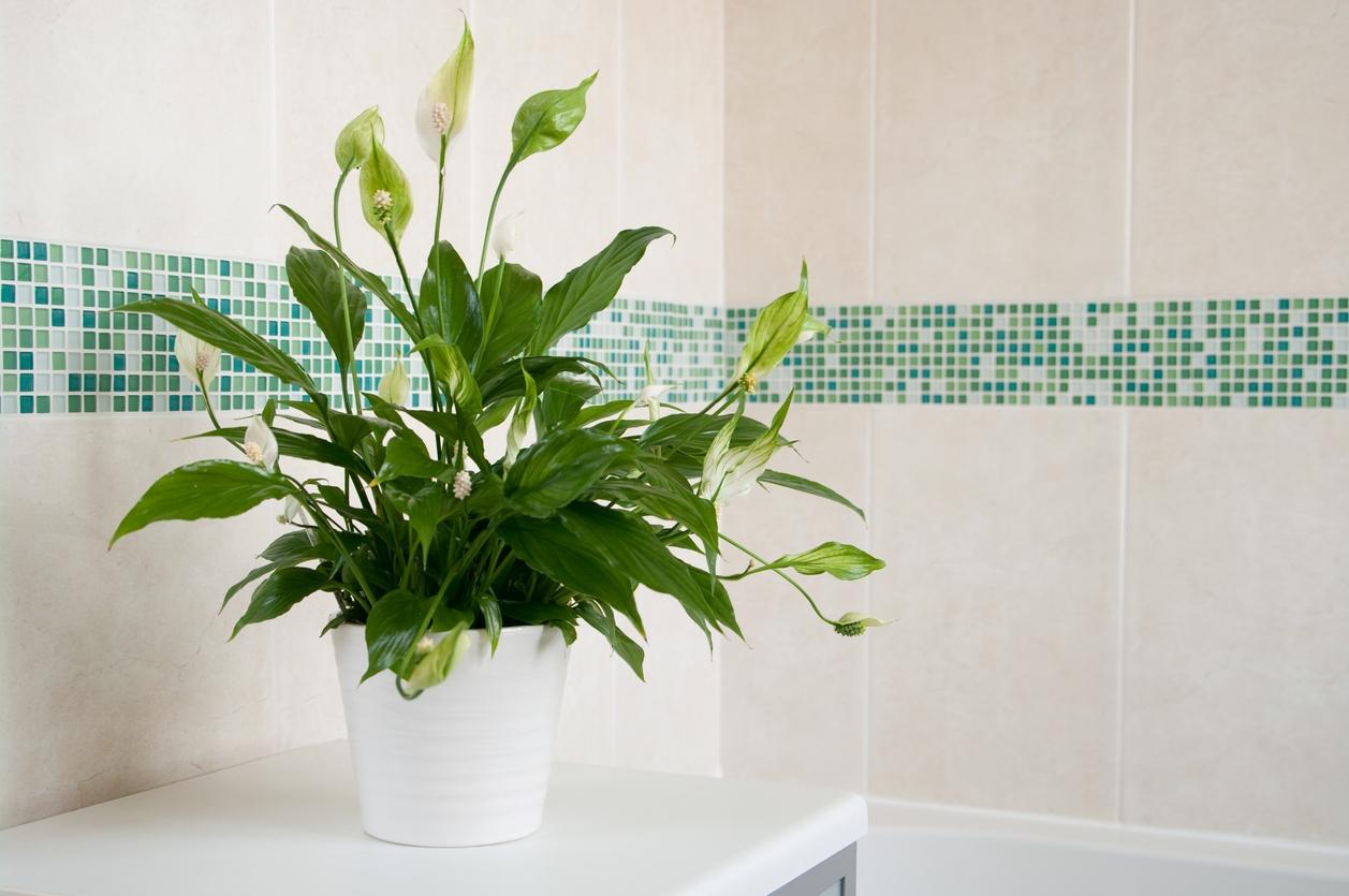 Sleziník, zelenec, špirlice a lopatkovec: Květiny do koupelny s oknem