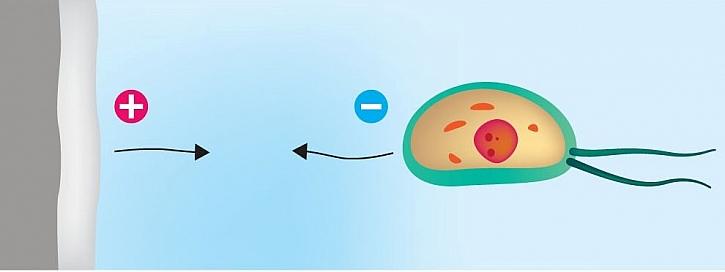 1. Buňky plísní a bakterií jsou elektrostatickými silami přitahovány k nátěru. Dosedají na povrch.