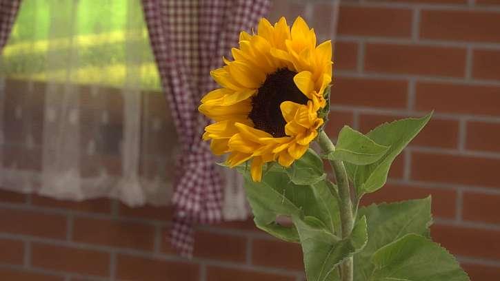 Aby slunečnice ve váze déle vydržela