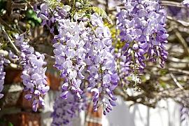 Vistárie nás oslní vodopády fialových květů. Co pro to musíme na jaře udělat?