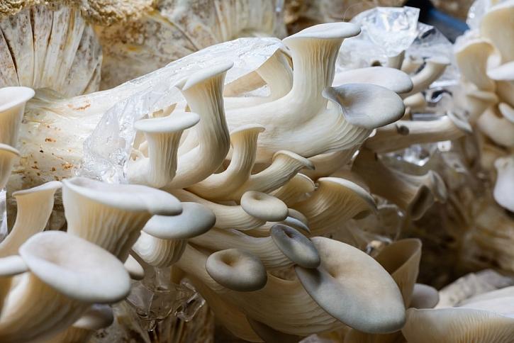 Jedlé houby, například hlívu, si můžete vypěstovat i v domácích podmínkách