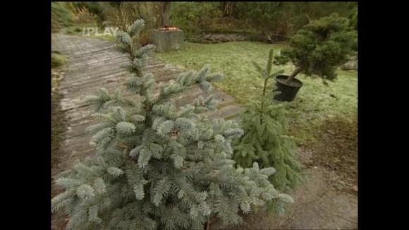 Pěstování vánočního stromku v kontejneru